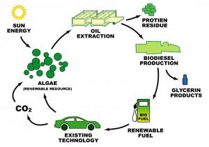 The algae biofuel cycle